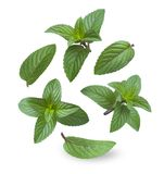 Collage of fresh caramel mint leaves isolated on white background Royalty Free Stock Images
