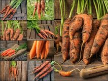 Collage with fresh carrot on rustic wooden background. Photo of mixed various kinds of carrot Stock Images