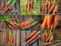 Collage with fresh carrot on rustic wooden background. Photo of mixed various kinds of carrot Stock Photos