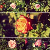Collage of garden roses in day time Stock Photo