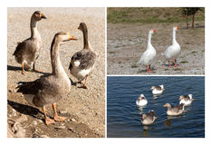 Collage of geese royalty free stock image