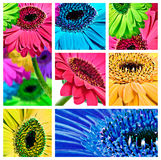 Collage of gerbera daisy flowers Royalty Free Stock Image