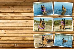 Collage german shepherd, man`s best friend, favorite, pet, guard dog, sh. Eep dog for a walk Stock Photo