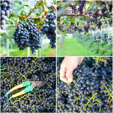 Collage of Grape harvesting Stock Photography