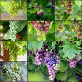Collage of a grapes on the Vine just before harvest Royalty Free Stock Photography