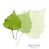 Collage with green birch leaves Royalty Free Stock Image