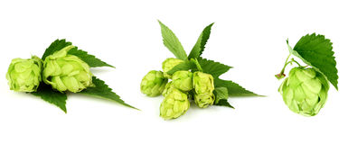 The collage green hop. Royalty Free Stock Photos