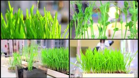 A Collage growing genetic plants tester job. Research and cultivation in the laboratory of wheat varieties stock video