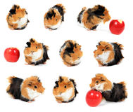 Collage of guinea pig pet with apple on white Stock Image