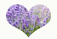 Collage with heart made of violet lavender field background stock photo