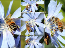 Collage of Honey Bees on Chicory Flowers. The delicate pale blue chicory flowers are yielding their pollen to the busy bees whose sacs are almost full Royalty Free Stock Photo