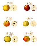 Collage with illustrations of apple varieties Stock Images