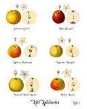 Collage with illustrations of apple varieties, Plate 1 Stock Photo