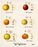 Collage with illustrations of apple varieties, Plate 1 Royalty Free Stock Images