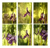 Collage with iris Stock Image
