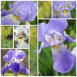 Collage from Iris flowers Royalty Free Stock Photo