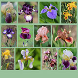 Collage of iris flowers Royalty Free Stock Images