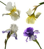 Collage of irises Royalty Free Stock Image