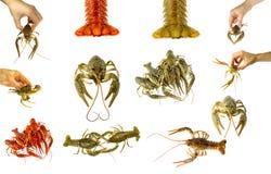 Collage of isolated crayfish on white background. Stock Photos