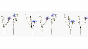Collage of isolated dried out cornflower blossoms with forget-me-not flower stem on a white background Royalty Free Stock Photo