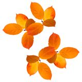 Collage of Isolated yellow orange bright autumn leaves on white background. royalty free stock photography