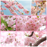 Collage - japanese cherry tree with blossoms at springtime Stock Image