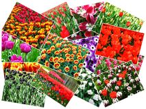 Collage of keukenhof flower garden Stock Photography