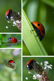 Collage with ladybugs Stock Photo