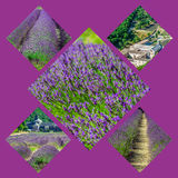 Collage of lavender in front of the abbaye de Senanque in Provence Stock Images