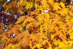 Autumn background. Colored leaves Royalty Free Stock Image