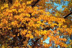 Autumn background. Colored leaves Royalty Free Stock Photo