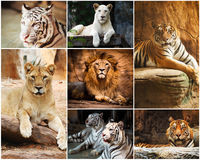 Collage lion and tiger Royalty Free Stock Image