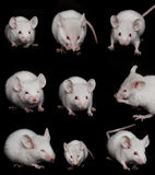 Collage: Little Mouse on a Black background Stock Photos
