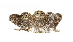 Collage of little owls Athene noctua on white background.  royalty free stock photography