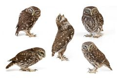 Collage of little owls Athene noctua on white background.  stock photography