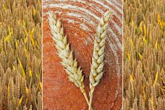 Collage - loaf of bread and ears. Collage - loaf of wholesome bread and golden wheat ears Stock Image