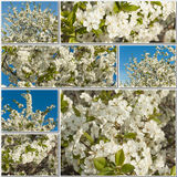 Collage made of branches blossoming cherry Royalty Free Stock Photos