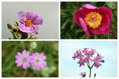 Collage made up of pink wildflowers. (Cistus crispus, Peony, Geranium molle and Common centaury Stock Photography