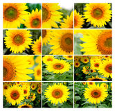 Collage of many images of sunflowers Royalty Free Stock Photography