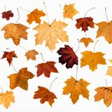 Collage from maple autumn leaves on white. Background Royalty Free Stock Photo