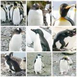 Collage med olik pingvinart Arkivfoto