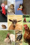 Collage med olika lantgårddjur royaltyfria bilder