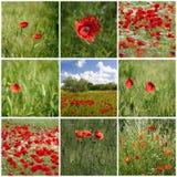 Collage med röda vallmo i Tuscany Royaltyfria Foton