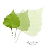 Collage met groene berkbladeren Royalty-vrije Stock Afbeelding