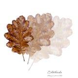 Collage mit Blättern der gemeinen Eiche Stockfotos