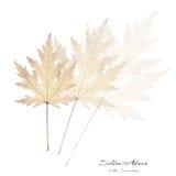 Collage mit Blättern des weißen Ahorns Lizenzfreies Stockbild