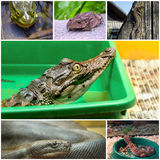 Collage mit Reptilien und Amphibien Stockfoto