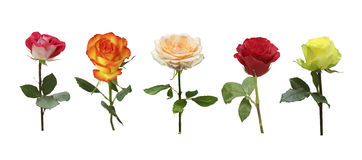 Collage of multicolored roses on white background Royalty Free Stock Photo