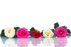 Collage of multicolored roses on white background isolated Royalty Free Stock Photo