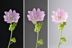 Collage Musk mallow on dark background. Colorful and crisp image of collage Musk mallow on dark background Royalty Free Stock Photo